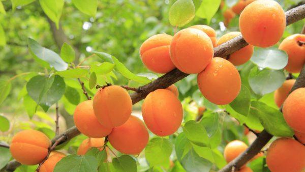 Brochette d'abricot